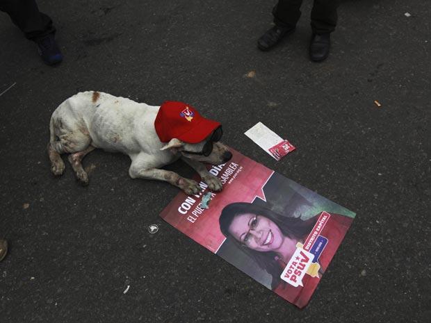Cão 'cabo eleitoral' durante ato de campanha de deputados situacionistas nesta quarta-feira (22) em Caracas.