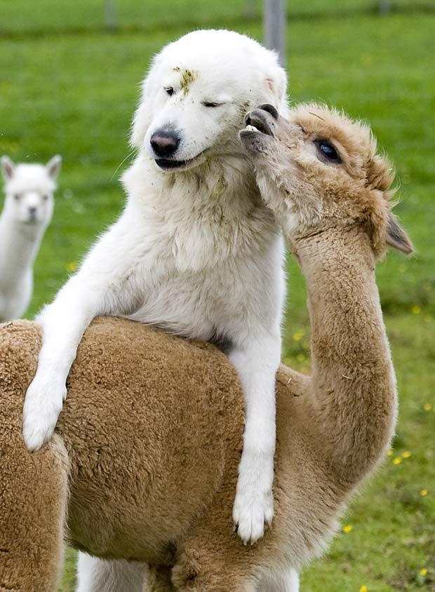A cadela chamada 'Clarence' e a alpaca 'Cindy' mantêm amizade inusitada em uma fazenda em Goeming, na Áustria. Os dois animais vivem juntos desde que eles filhotes. Além 'Cindy', outras 87 alpacas são mantidas na fazenda, que tem o maior rebanho da Áustria.