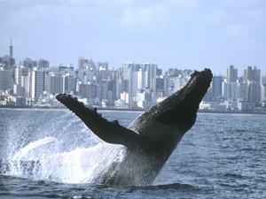 Baleia jubarte nada próximo ao litoral
