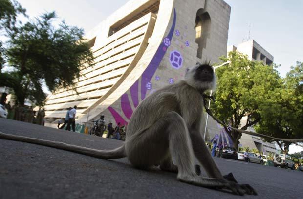 Macaco langur é puxado por seu dono em frente à sede dos Jogos da Commonwealth.