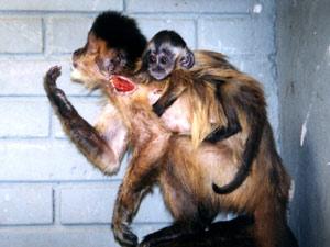 Pequenos primatas estão entre os mais procurados pelo tráfico de companhia