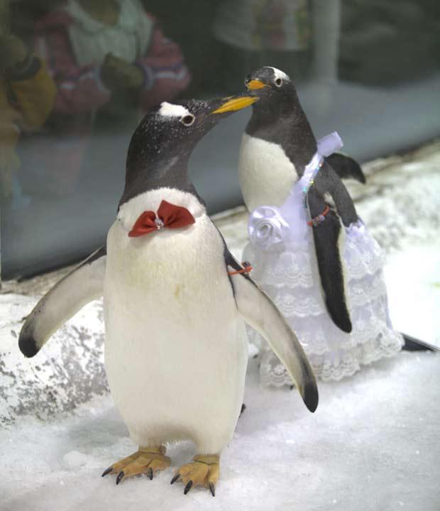 Casal de pinguins durante o casamento.