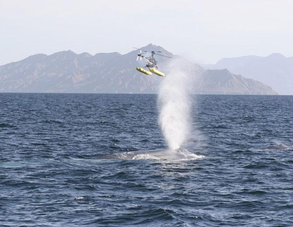 Helicóptero por controle remoto em plena missão para coletar ranho de baleia