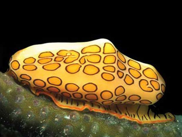Uma das espécies inventariadas pelo censo da vida marinha