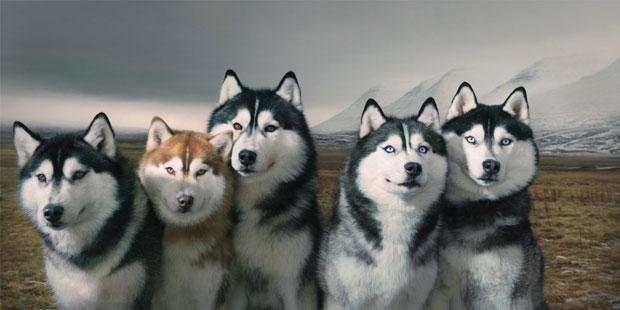 Huskies siberianos.
