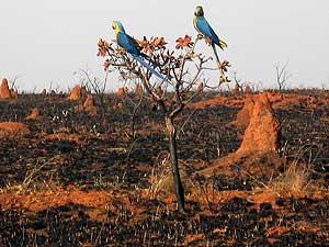 Araras azuis voltam a planície devastada pelo fogo