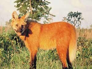 Lobo-guará é motivo de preocupação para os parques