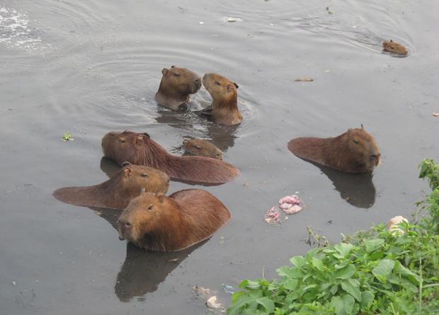 Cerca de 200 capivaras vivem às margens do poluído Rio Pinheiros