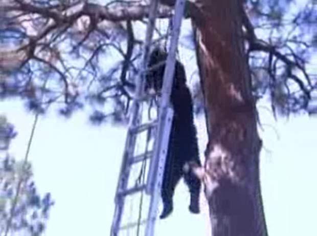 Bombeiros usaram tranquilizantes para conseguir retirar o urso.