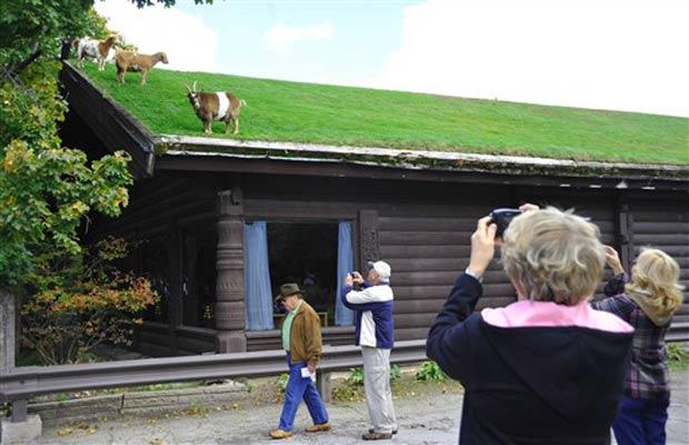 Turistas param para tirar fotos dos animais pastando no telhado.