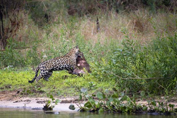 Onça mata capivara às margens do rio Cuiabá.