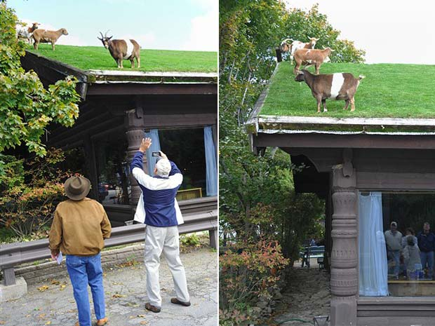 Um restaurante em Sister Bay, nos EUA, virou atração por manter cabras pastando no telhado.