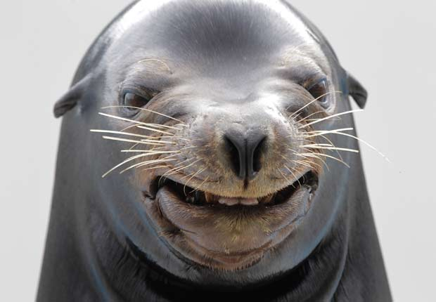 Um leão-marinho foi flagrado 'sorrindo' durante um show no domingo (17) em um parque aquático em Kamogawa, no Japão.  (Foto: Itsuo Inouye/AP)