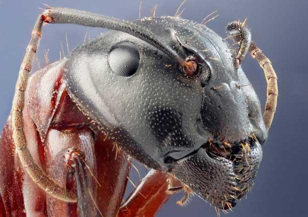 Formiga Camponotus herculaneus