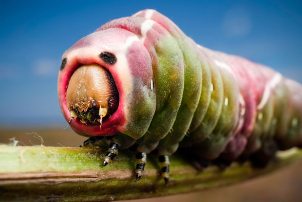 Lagarta da espécie Cerura vinula