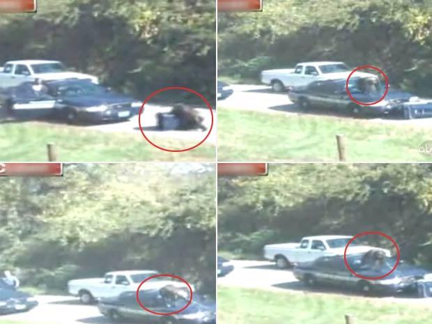 Chimpanzé fugiu e atacou carro da polícia.