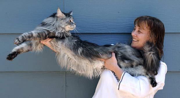 Gato de 1,23 metro bate recorde como o mais longo do mundo.