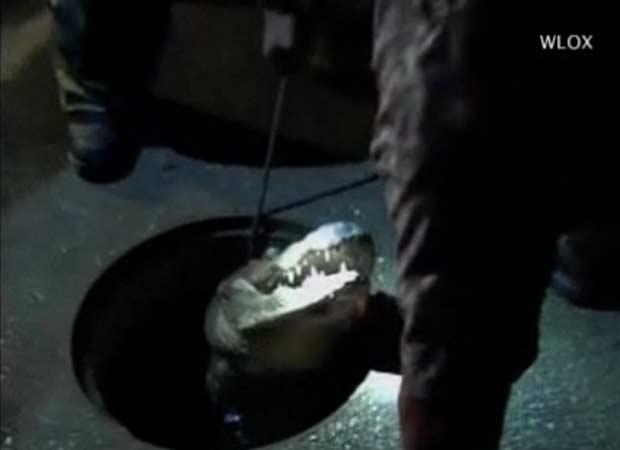 Aligátor é retirado após ficar preso em um bueiro em Moss Point.