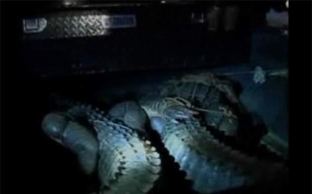 Dois aligátores capturados tinham cerca de três metros de comprimento cada um.