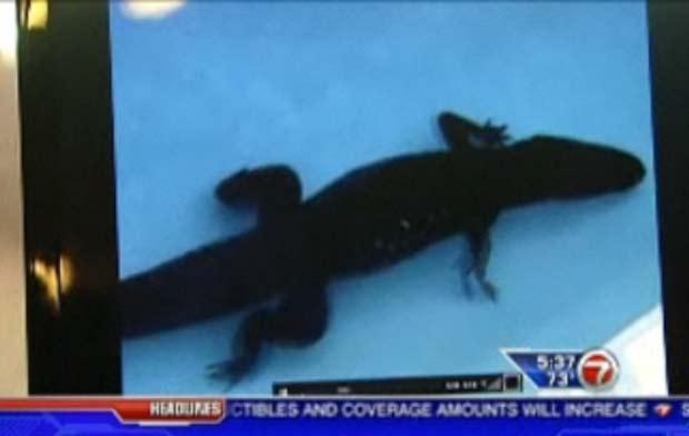 Aligátor foi encontrado dentro de piscina.