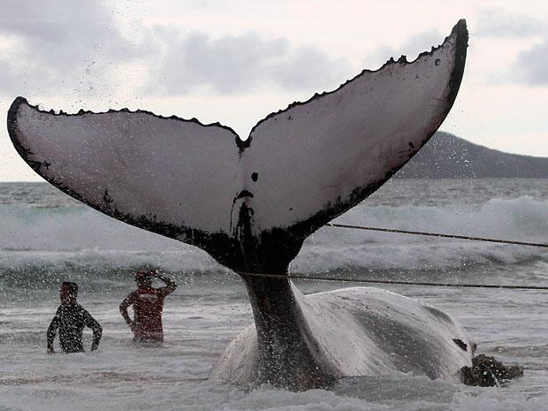 Baleia encalhada em Búzios