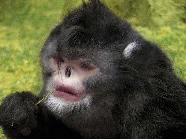 Macaco nariz arrebitado