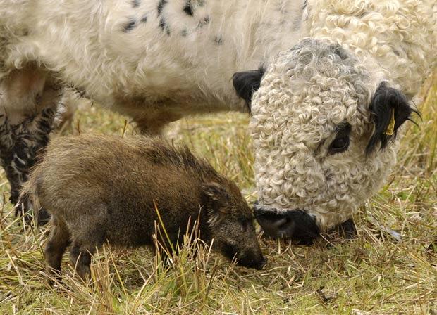 Filhote de javali tem sido alimentado por uma vaca.