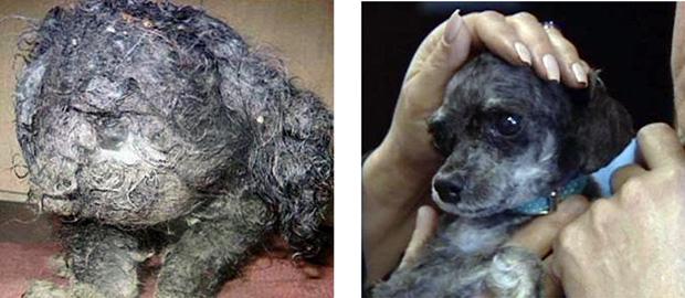 Foto divulgada por TV local mostra o cão Ripley antes e depois de ser tosado. O poodle abandonado, de cerca de dois anos, foi achado em 19 de outubro na sarjeta na cidade de LaPlace, na Louisiana, e levado a um abrigo em Houma. Os veterinários disseram que havia baratas vivas e mortas no pelo do animal. A tosa retirou mais de um quilo de pelo de Ripley -nome que ele ganhou em homenagem ao título original da série americana de TV 'Acredite se quiser'. Várias pessoas se ofereceram para adotar o cão.