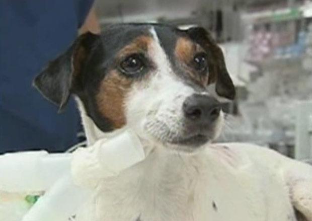 Esta é Lizabeth, uma cadela da raça Jack Russell que sobreviveu a uma mordida de jacaré graças a seu dono. Tom Martino atirou na água ao ver seu cachorro ser agarrado. Assustado, o jacaré soltou Lizabeth.