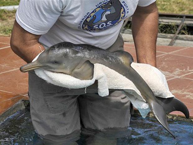 Richard Tesore, diretor do 'SOS Fauna Marinha' segura o filhote de golfinho perto de piscina em Punta Colorada. O animal de cerca de dez dias foi encontrado por turistas com marcas de tentativa de pesca