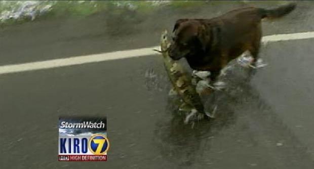 Cão captura salmão em rodovia alagada.