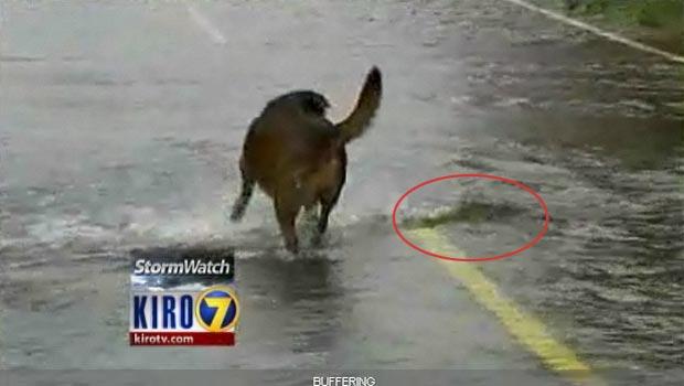 Cão observa salmão nadando sobre rodovia.
