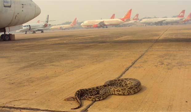 Píton foi removida pouco antes da chegada de Obama à Índia.