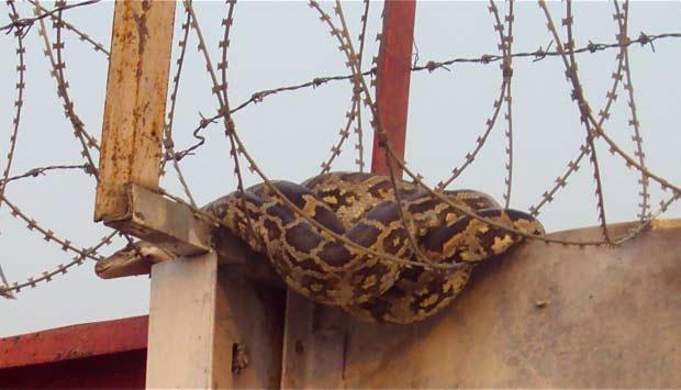 Cobra foi flagrada no aeroporto de Nova Déli.