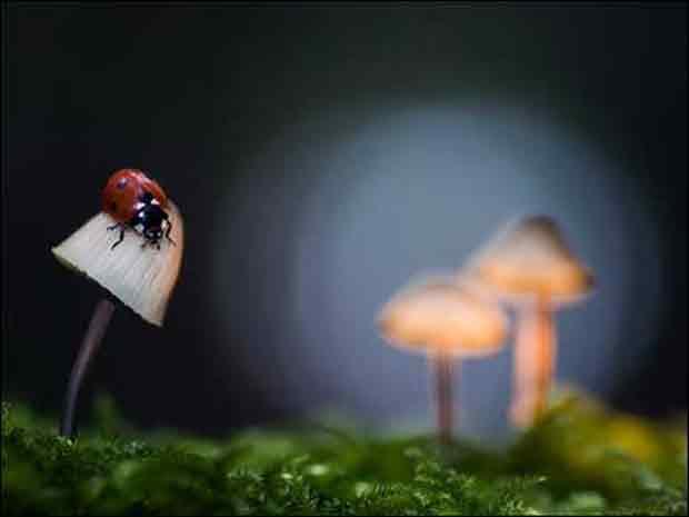 Joaninha sobre cogumelo.