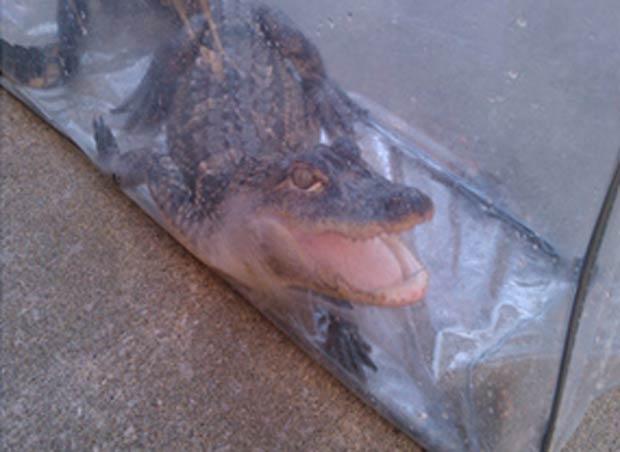 Aligátor foi capturado pelo serviço de controle de animais.