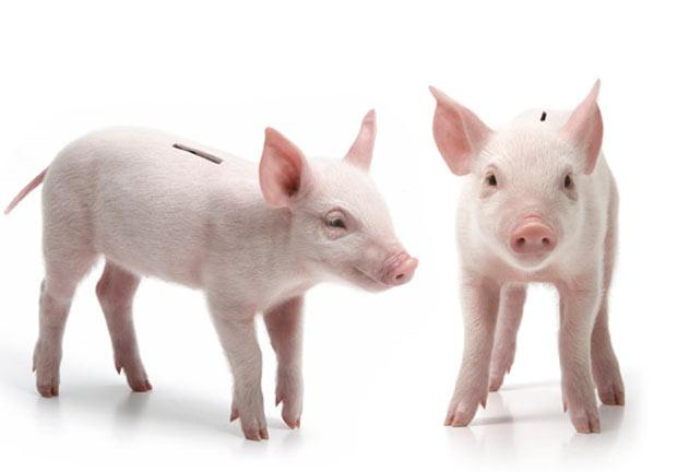 Empresa canadense criou cofrinho feito com porquinho real.