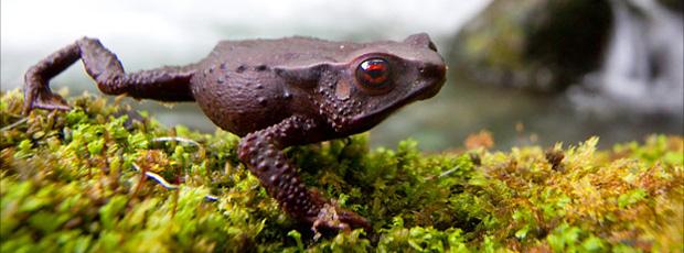 Sapo de olhos vermelhos foi encontrado a 2.000 metros de altura