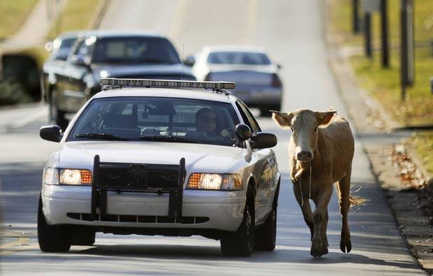 Policial manteve o animal longe do tráfego para evitar acidentes.