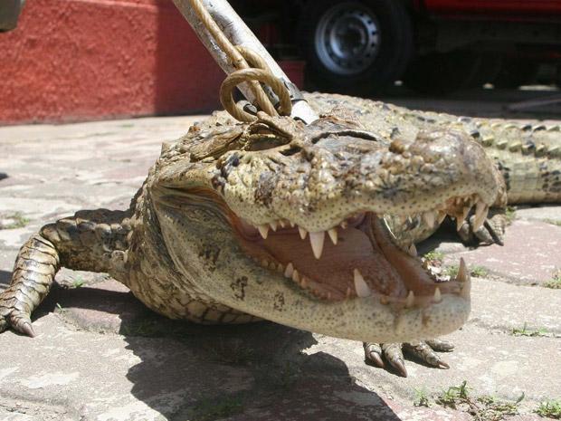 Segundo a corporação, com cerca de 50kg, o animal foi encontrado no terreno de um sítio na Estrada Visconde de Sinimbu.