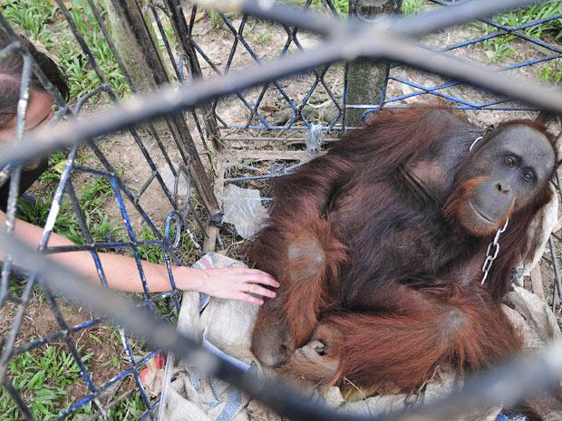 Monte, orangotango de 13 anos, é enjaulado e resgatado de casa onde vivia como animal de estimação na província de Kalimantan, na Indonésia. Orangotangos são protegidos e proibidos de serem domesticados no país.