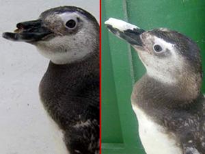 """O pinquim """"Tumgo"""" antes e depois da cirurgia no bico"""