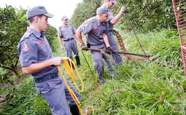 Bombeiros capturaram jacará no meio de plantação.