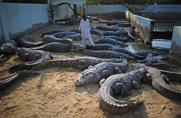 Tratador caminha entre crocodilos em Karachi.