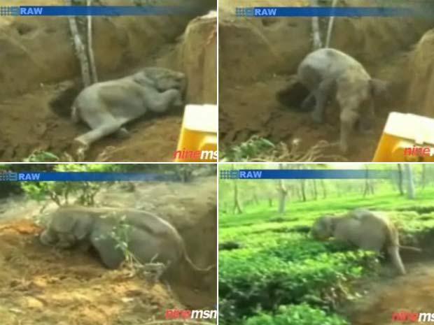 Após escavadeira aumentar a vala, bebê elefante conseguiu sair sozinho.