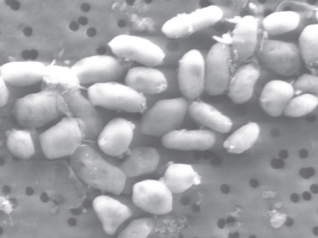 Arsênio bactéria 1