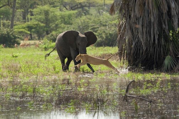 Leoa acabou fugindo após aproximação do elefante.
