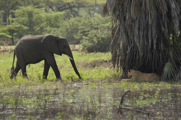 Leoa descansava em sombra quando o elefante apareceu.