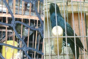 Pássaros apreendidos em Belo Horizonte
