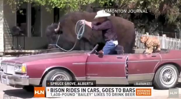 Canadense passeia com bisão em carro conversível.
